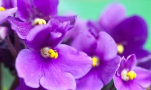 african-violet_facebook
